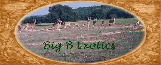 Some Nice Whitetails at Big B Exotics